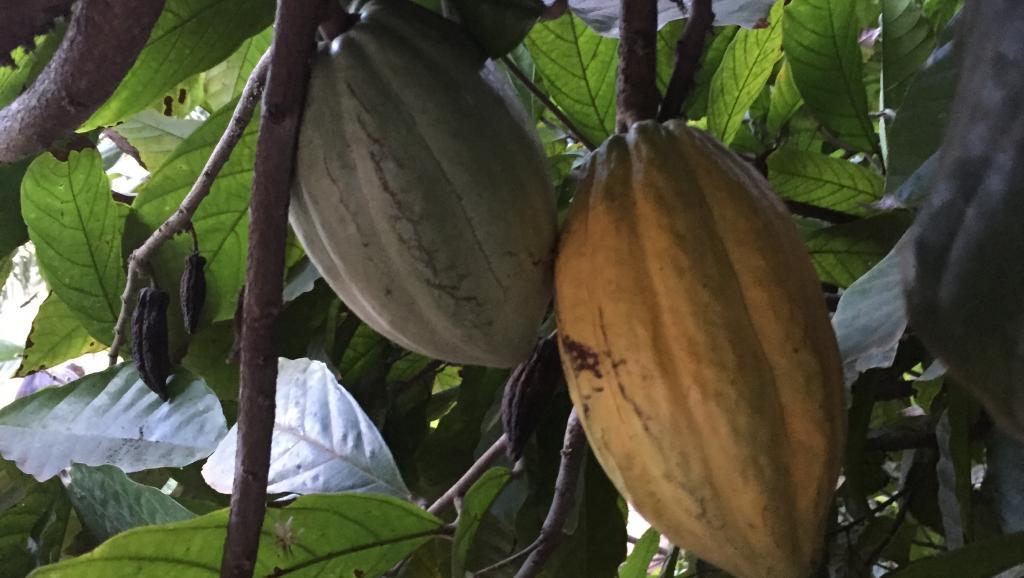 Vente de cacao suspendue: un accord inédit entre le Ghana et la Côte d'Ivoire